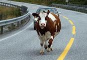 Чем люди отличаются от коров